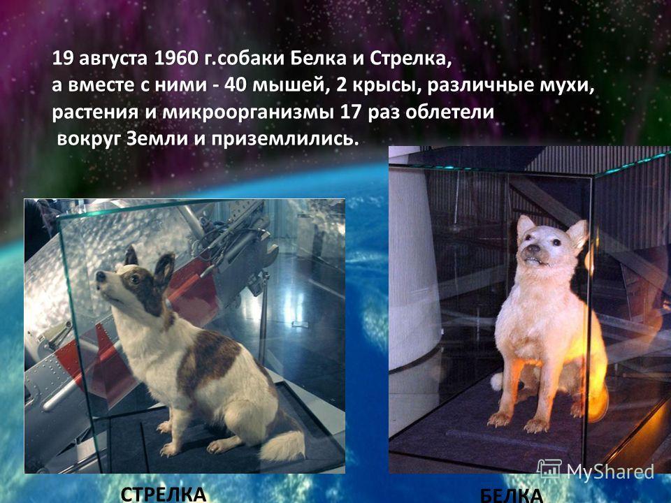 19 августа 1960 г.собаки Белка и Стрелка,19 августа 1960 г.собаки Белка и Стрелка, а вместе с ними - 40 мышей, 2 крысы, различные мухи, растения и микроорганизмы 17 раз облетели вокруг Земли и приземлились. вокруг Земли и приземлились. СТРЕЛКА БЕЛКА