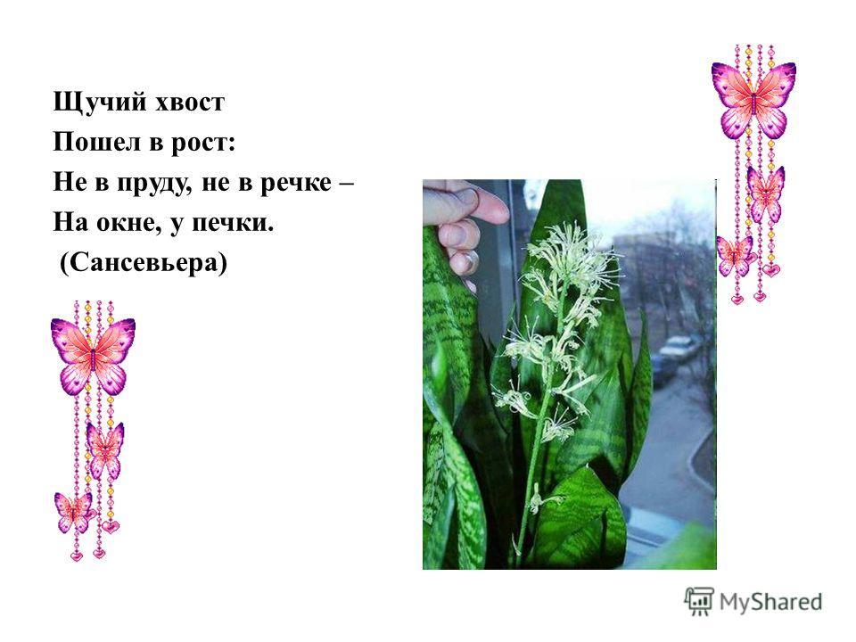 Щучий хвост Пошел в рост: Не в пруду, не в речке – На окне, у печки. (Сансевьера)