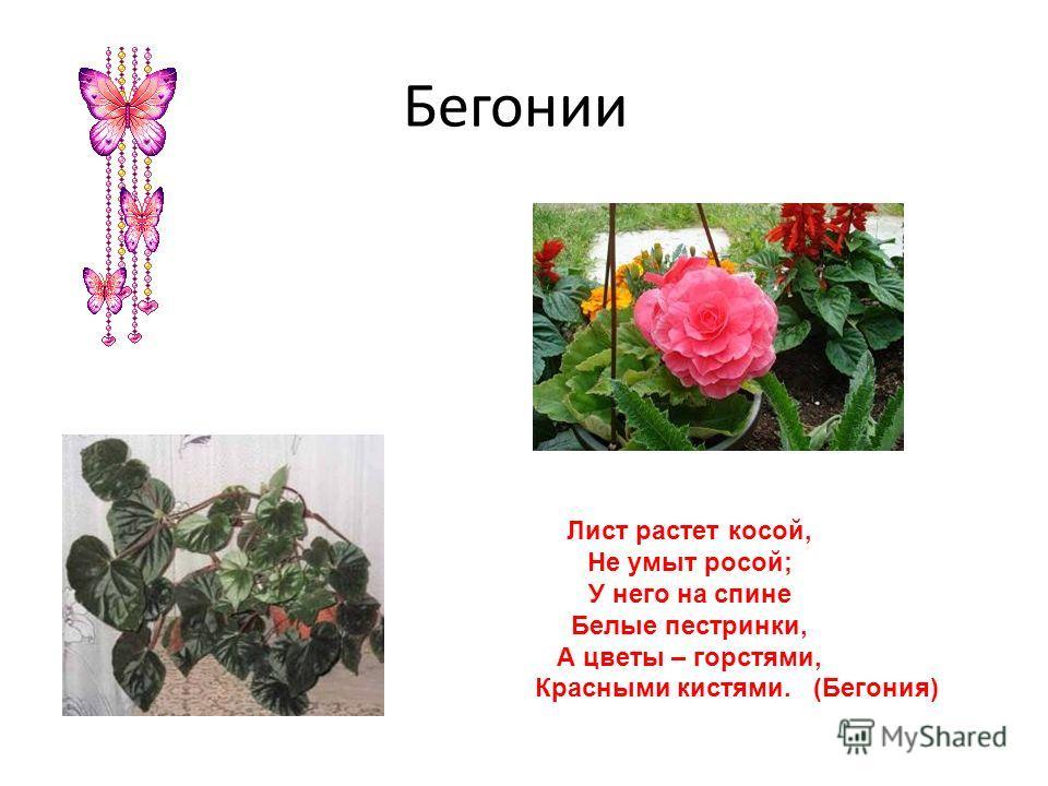 Бегонии Лист растет косой, Не умыт росой; У него на спине Белые пестрянки, А цветы – горстями, Красными кистями. (Бегония)