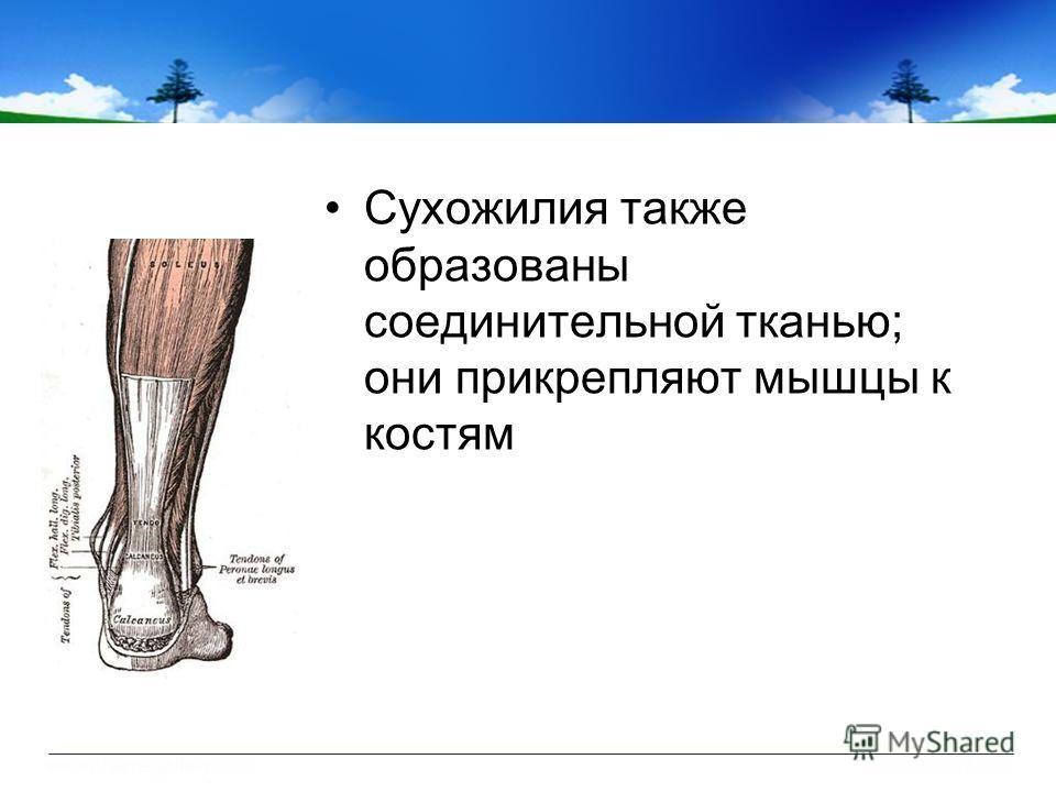 Сухожилия также образованы соединительной тканью; они прикрепляют мышцы к костям