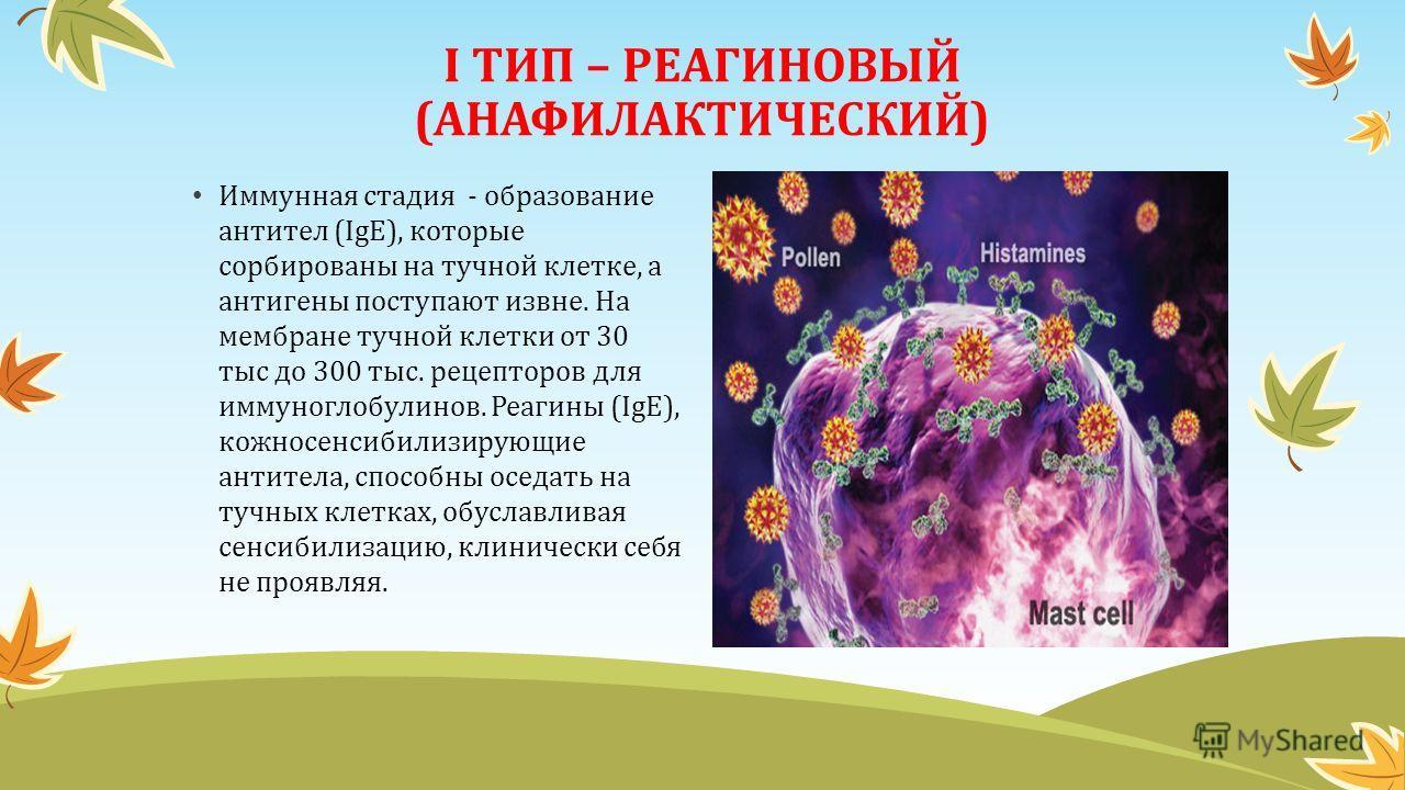I ТИП – РЕАГИНОВЫЙ (АНАФИЛАКТИЧЕСКИЙ) Иммунная стадия - образование антител (IgЕ), которые сорбированы на тучной клетке, а антигены поступают извне. На мембране тучной клетки от 30 тыс до 300 тыс. рецепторов для иммуноглобулинов. Реагины (IgЕ), кожно