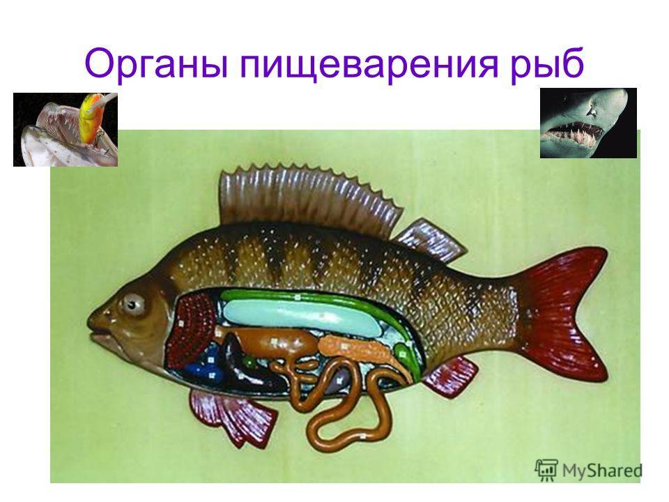 Органы пищеварения рыб