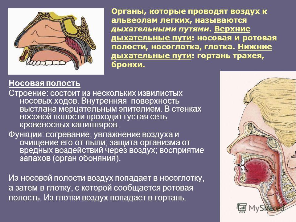 Органы, которые проводят воздух к альвеолам легких, называются дыхательными путями. Верхние дыхательные пути: носовая и ротовая полости, носоглотка, глотка. Нижние дыхательные пути: гортань трахея, бронхи. Носовая полость Строение: состоит из несколь