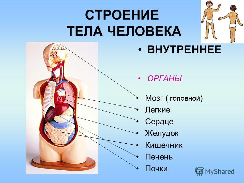 СТРОЕНИЕ ТЕЛА ЧЕЛОВЕКА ВНУТРЕННЕЕ ОРГАНЫ Мозг ( ГОЛОВНОЙ ) Легкие Сердце Желудок Кишечник Печень Почки