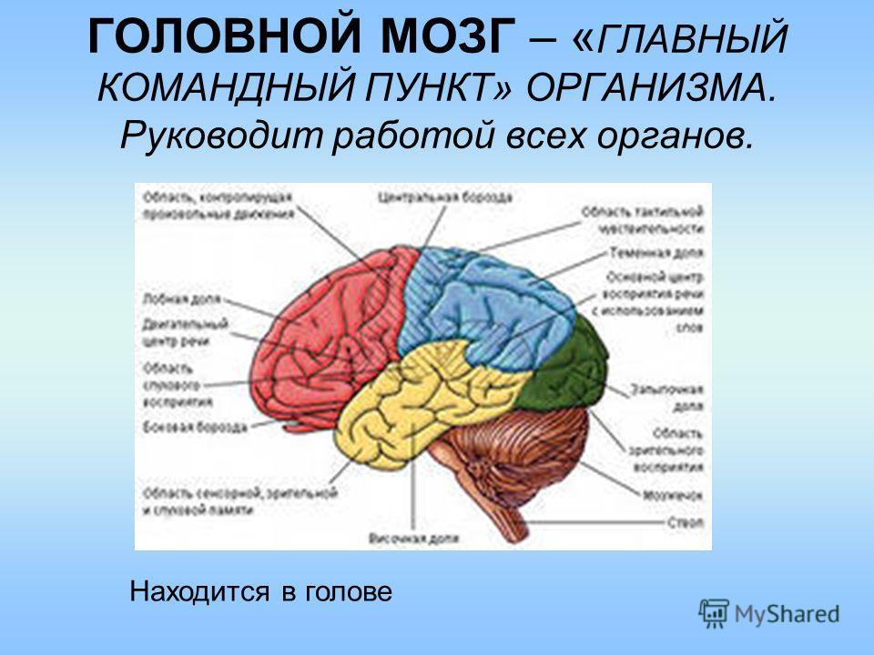ГОЛОВНОЙ МОЗГ – « ГЛАВНЫЙ КОМАНДНЫЙ ПУНКТ» ОРГАНИЗМА. Руководит работой всех органов. Находится в голове