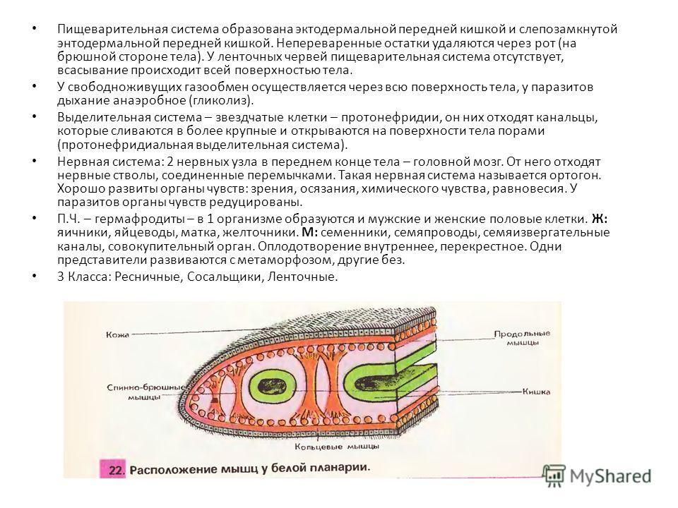 Пищеварительная система образована эктодермальной передней кишкой и слепозамкнутой энтодермальной передней кишкой. Непереваренные остатки удаляются через рот (на брюшной стороне тела). У ленточных червей пищеварительная система отсутствует, всасывани