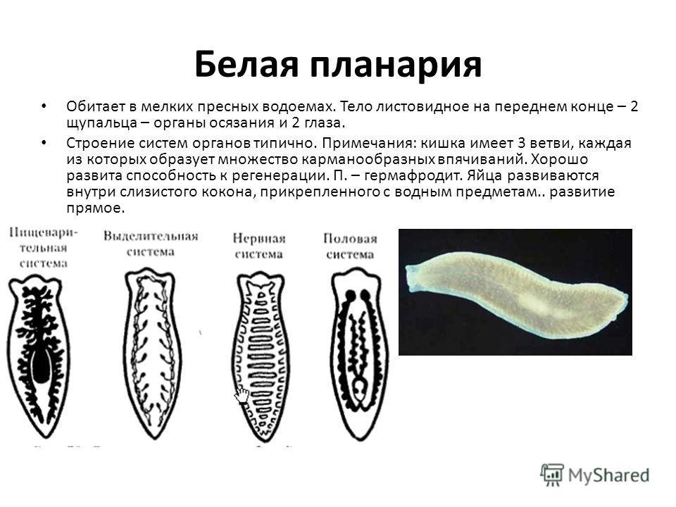 Белая планария Обитает в мелких пресных водоемах. Тело листовидное на переднем конце – 2 щупальца – органы осязания и 2 глаза. Строение систем органов типично. Примечания: кишка имеет 3 ветви, каждая из которых образует множество карманообразных впяч