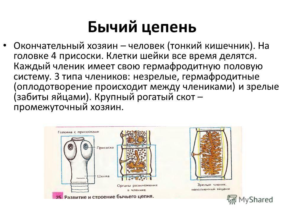 Бычий цепень Окончательный хозяин – человек (тонкий кишечник). На головке 4 присоски. Клетки шейки все время делятся. Каждый членик имеет свою гермафродитную половую систему. 3 типа члеников: незрелые, гермафродитные (оплодотворение происходит между
