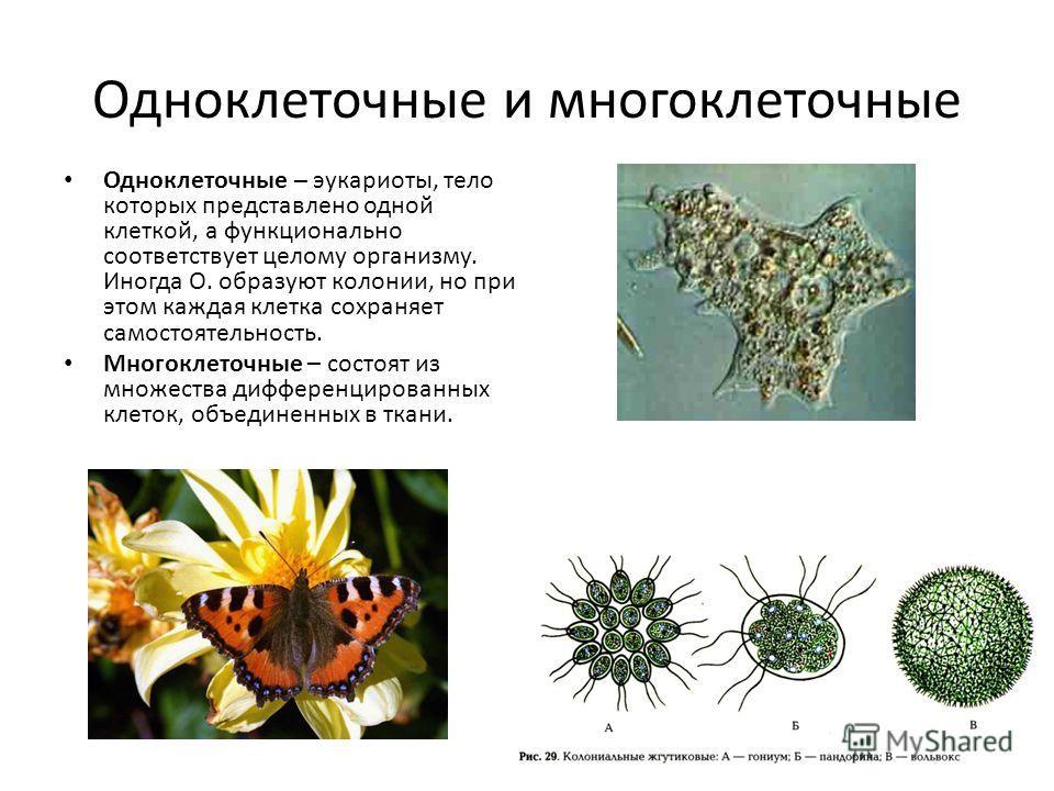 Одноклеточные и многоклеточные Одноклеточные – эукариоты, тело которых представлено одной клеткой, а функционально соответствует целому организму. Иногда О. образуют колонии, но при этом каждая клетка сохраняет самостоятельность. Многоклеточные – сос