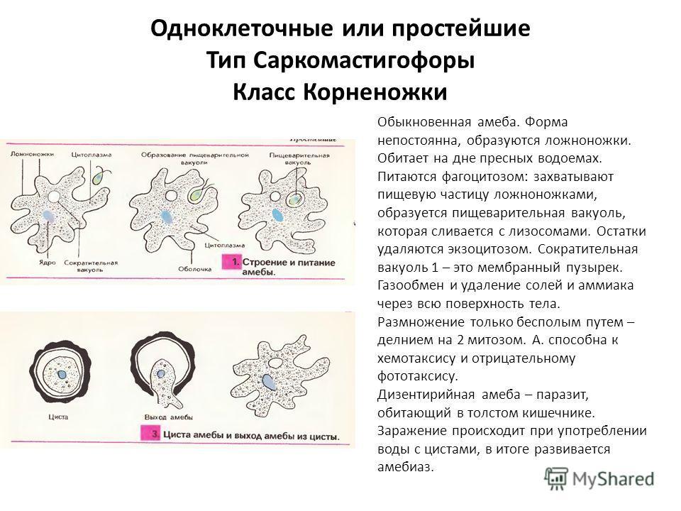 Одноклеточные или простейшие Тип Саркомастигофоры Класс Корненожки Обыкновенная амеба. Форма непостоянна, образуются ложноножки. Обитает на дне пресных водоемах. Питаются фагоцитозом: захватывают пищевую частицу ложноножками, образуется пищеварительн