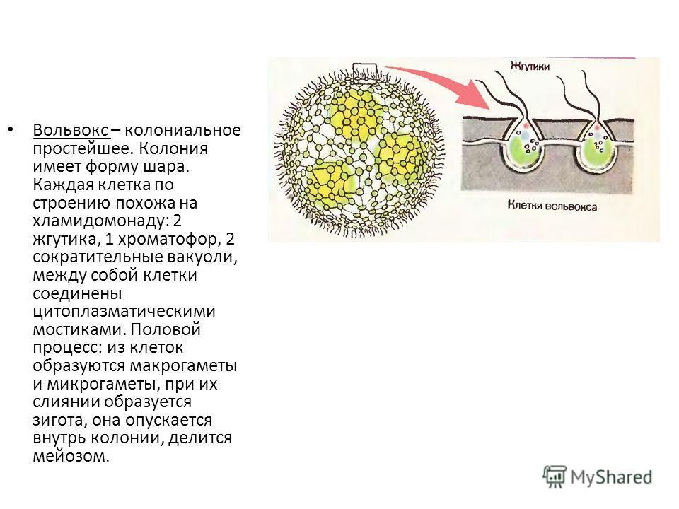 Вольвокс – колониальное простейшее. Колония имеет форму шара. Каждая клетка по строению похожа на хламидомонаду: 2 жгутика, 1 хроматофор, 2 сократительные вакуоли, между собой клетки соединены цитоплазматическими мостиками. Половой процесс: из клеток