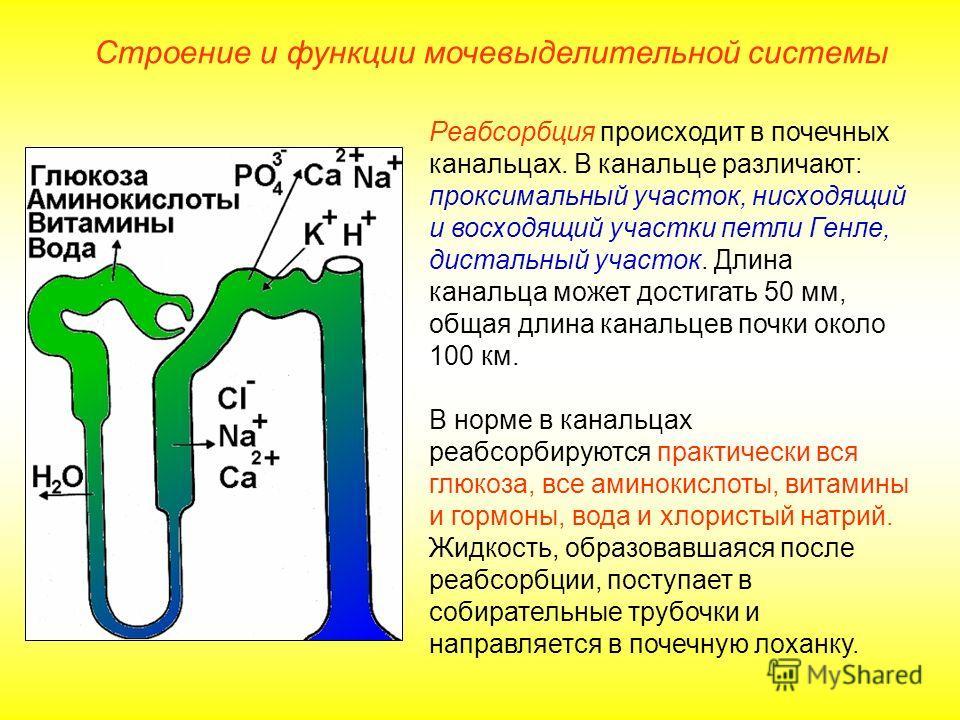 Реабсорбция происходит в почечных канальцах. В канальце различают: проксимальный участок, нисходящий и восходящий участки петли Генле, дистальный участок. Длина канальца может достигать 50 мм, общая длина канальцев почки около 100 км. В норме в канал