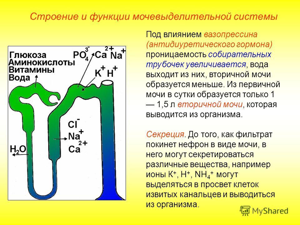 Под влиянием вазопрессина (антидиуретического гормона) проницаемость собирательных трубочек увеличивается, вода выходит из них, вторичной мочи образуется меньше. Из первичной мочи в сутки образуется только 1 1,5 л вторичной мочи, которая выводится из