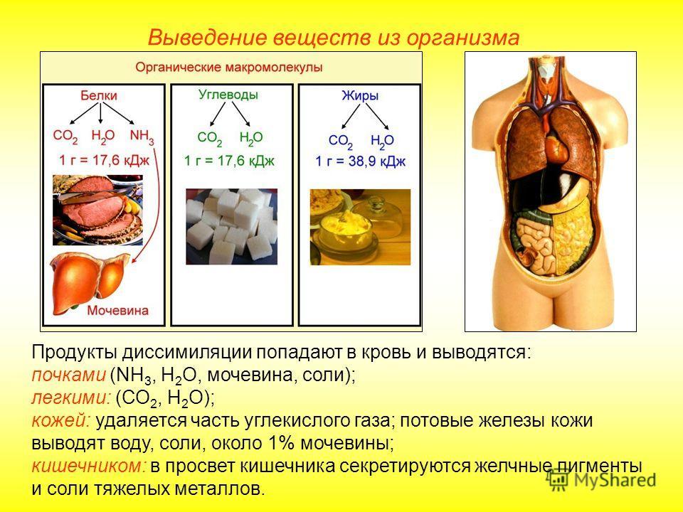 Выведение веществ из организма Продукты диссимиляции попадают в кровь и выводятся: почками (NH 3, H 2 O, мочевина, соли); легкими: (СО 2, Н 2 О); кожей: удаляется часть углекислого газа; потовые железы кожи выводят воду, соли, около 1% мочевины; кише