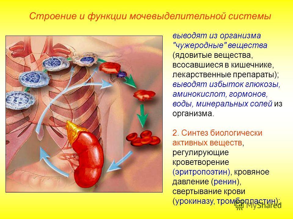 Строение и функции мочевыделительной системы выводят из организма