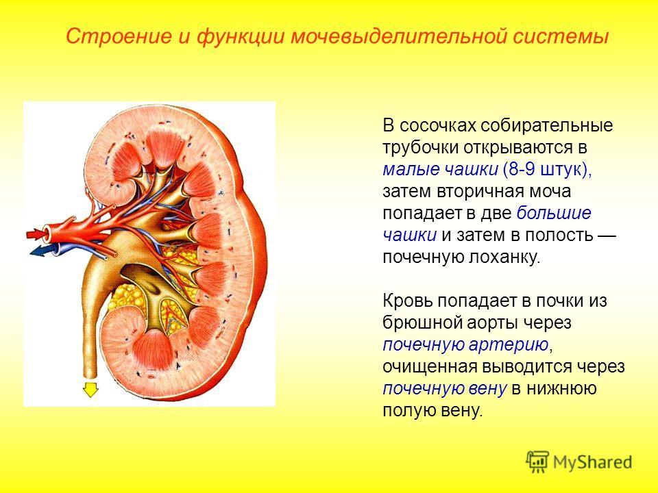 В сосочках собирательные трубочки открываются в малые чашки (8-9 штук), затем вторичная моча попадает в две большие чашки и затем в полость почечную лоханку. Кровь попадает в почки из брюшной аорты через почечную артерию, очищенная выводится через по