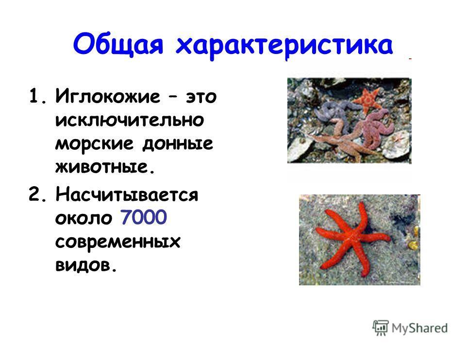 Общая характеристика 1. Иглокожие – это исключительно морские донные животные. 2. Насчитывается около 7000 современных видов.