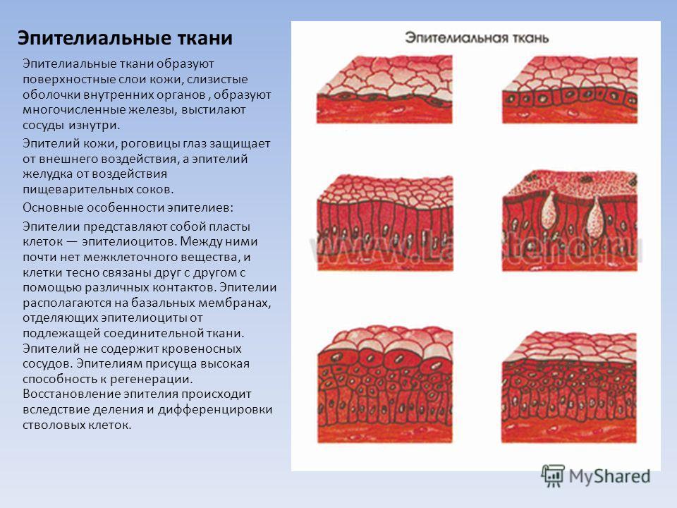 Эпителиальные ткани Эпителиальные ткани образуют поверхностные слои кожи, слизистые оболочки внутренних органов, образуют многочисленные железы, выстилают сосуды изнутри. Эпителий кожи, роговицы глаз защищает от внешнего воздействия, а эпителий желуд