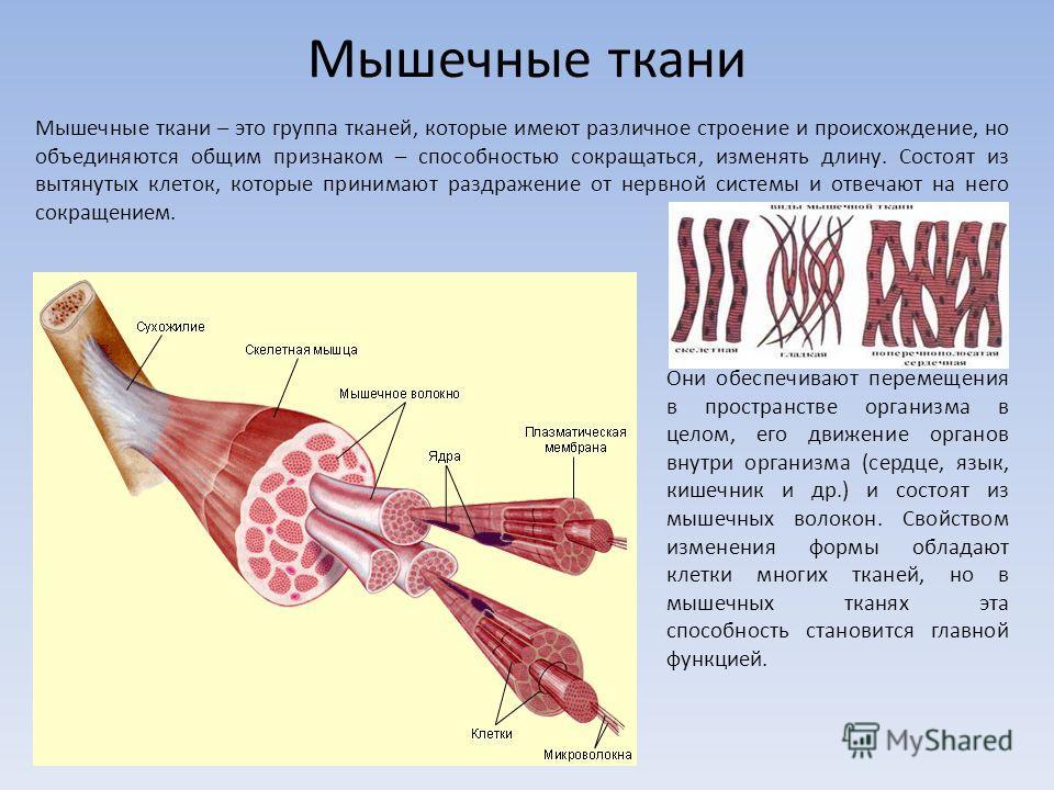 Мышечные ткани Мышечные ткани – это группа тканей, которые имеют различное строение и происхождение, но объединяются общим признаком – способностью сокращаться, изменять длину. Состоят из вытянутых клеток, которые принимают раздражение от нервной сис