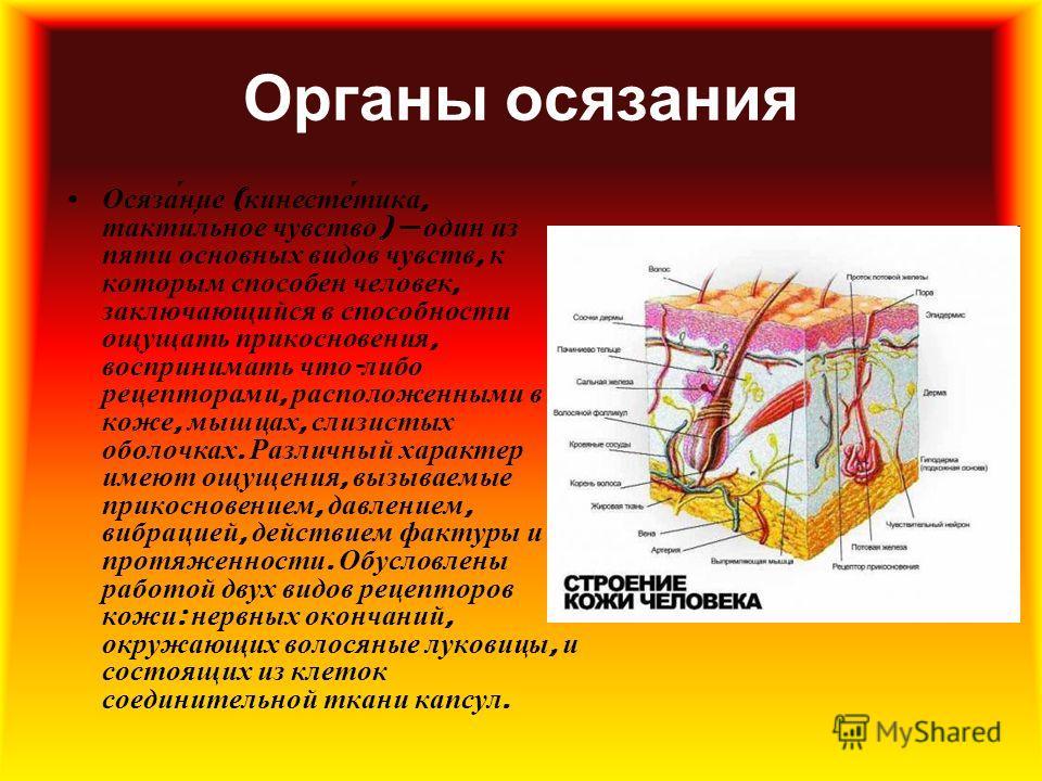 Органы осязания Осяза́ние ( кинесте́тика, такти́льное чувство ) один из пяти основных видов чувств, к которым способен человек, заключающийся в способности ощущать прикосновения, воспринимать что - либо рецепторами, расположенными в коже, мышцах, сли