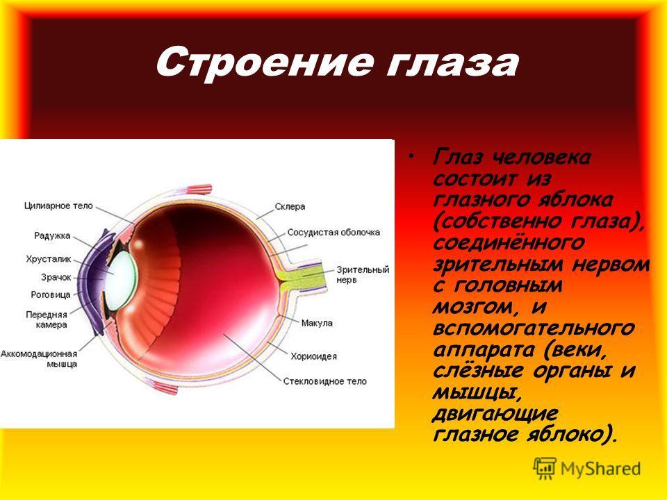 Строение глаза Глаз человека состоит из глазного яблока (собственно глаза), соединённого зрительным нервом с головным мозгом, и вспомогательного аппарата (веки, слёзные органы и мышцы, двигающие глазное яблоко).