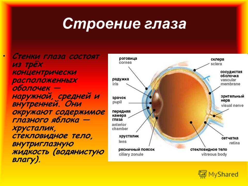 Стенки глаза состоят из трёх концентрически расположенных оболочек наружной, средней и внутренней. Они окружают содержимое глазного яблока хрусталик, стекловидное тело, внутриглазную жидкость (водянистую влагу). Строение глаза