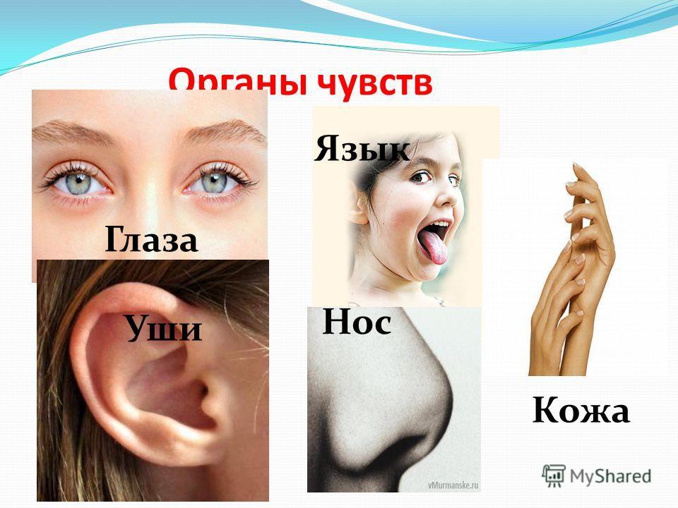 Органы чувств Глаза Язык Кожа Нос Уши