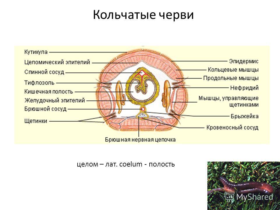 Кольчатые черви целом – лат. coelum - полость