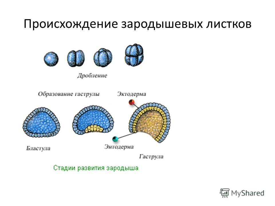 Происхождение зародышевых листков