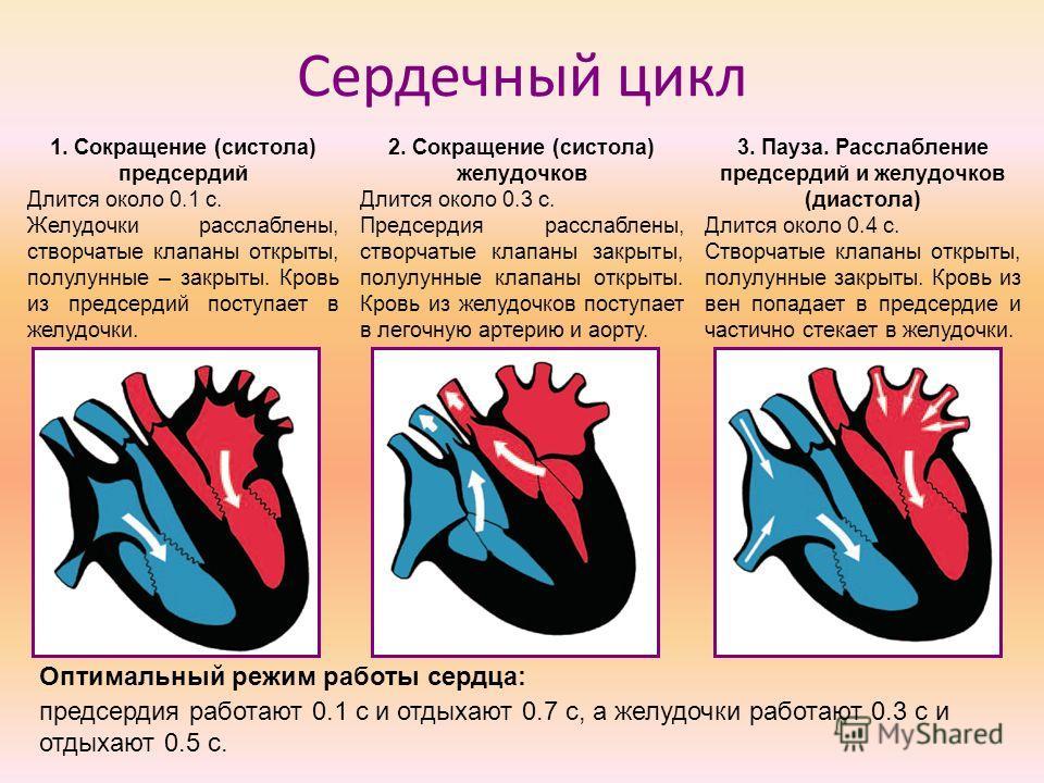 Сердечный цикл 1. Сокращение (систола) предсердий Длится около 0.1 с. Желудочки расслаблены, створчатые клапаны открыты, полулунные – закрыты. Кровь из предсердий поступает в желудочки. 2. Сокращение (систола) желудочков Длится около 0.3 с. Предсерди