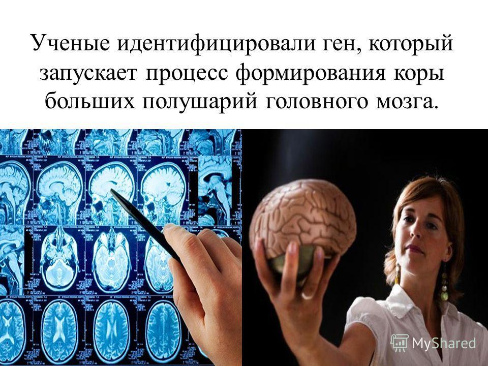 Ученые идентифицировали ген, который запускает процесс формирования коры больших полушарий головного мозга.