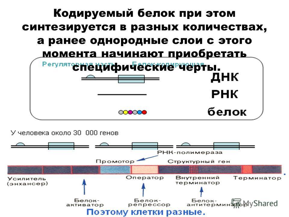 Кодируемый белок при этом синтезируется в разных количествах, а ранее однородные слои с этого момента начинают приобретать специфические черты.