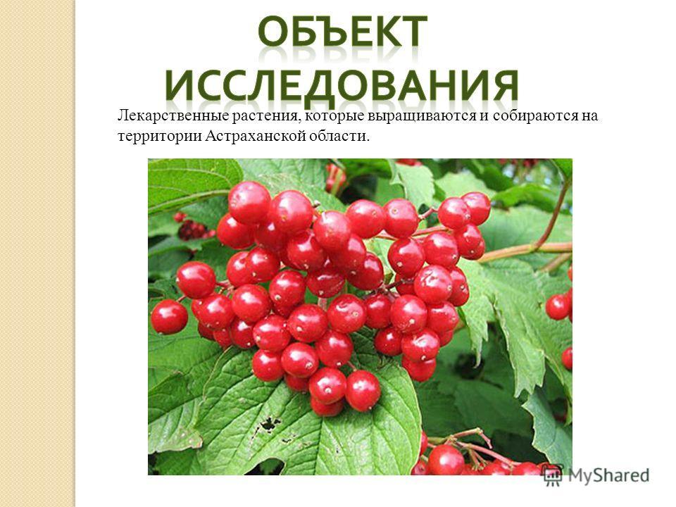 Лекарственные растения, которые выращиваются и собираются на территории Астраханской области.