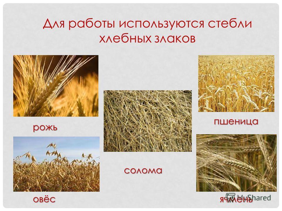 рожь овёс солома пшеница ячмень Для работы используются стебли хлебных злаков