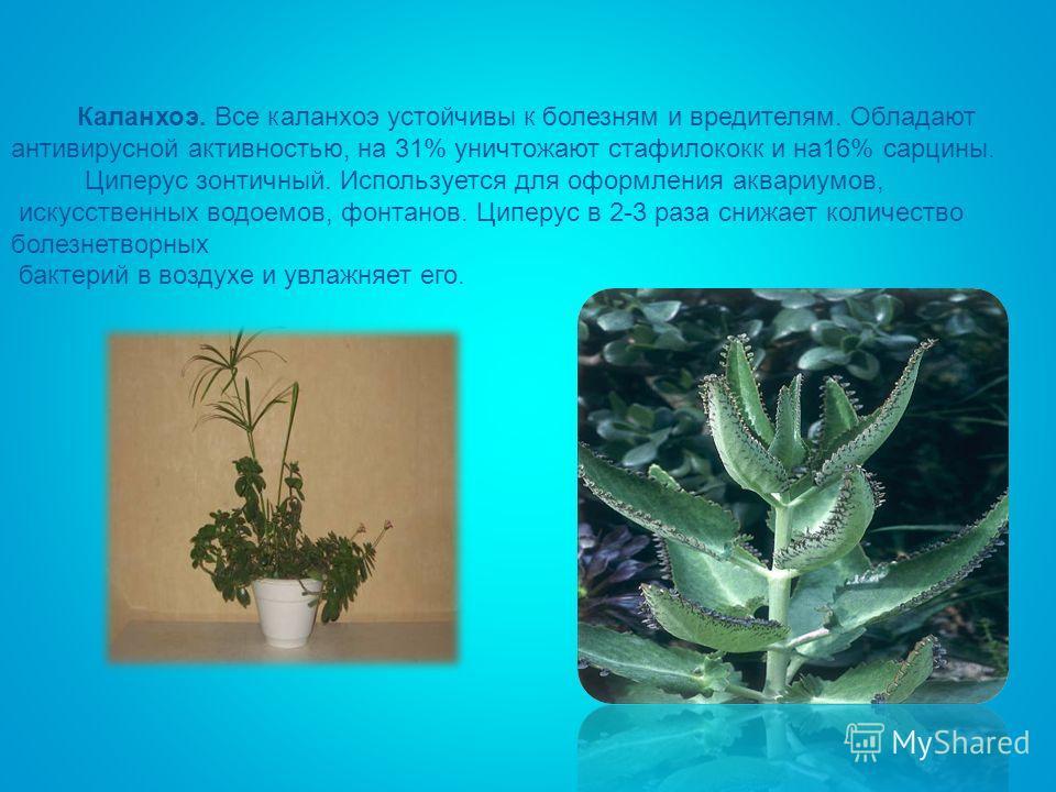 Каланхоэ. Все каланхоэ устойчивы к болезням и вредителям. Обладают антивирусной активностью, на 31% уничтожают стафилококк и на 16% сарцины. Циперус зонтичный. Используется для оформления аквариумов, искусственных водоемов, фонтанов. Циперус в 2-3 ра