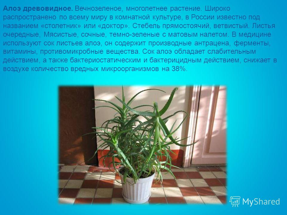 Алоэ древовидное. Вечнозеленое, многолетнее растение. Широко распространено по всему миру в комнатной культуре, в России известно под названием «столетник» или «доктор». Стебель прямостоячий, ветвистый. Листья очередные, Мясистые, сочные, темно-зелен