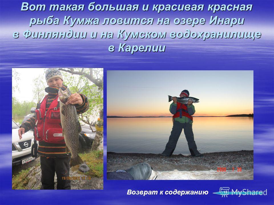 Вот такая большая и красивая красная рыба Кумжа ловится на озере Инари в Финляндии и на Кумском водохранилище в Карелии Возврат к содержанию