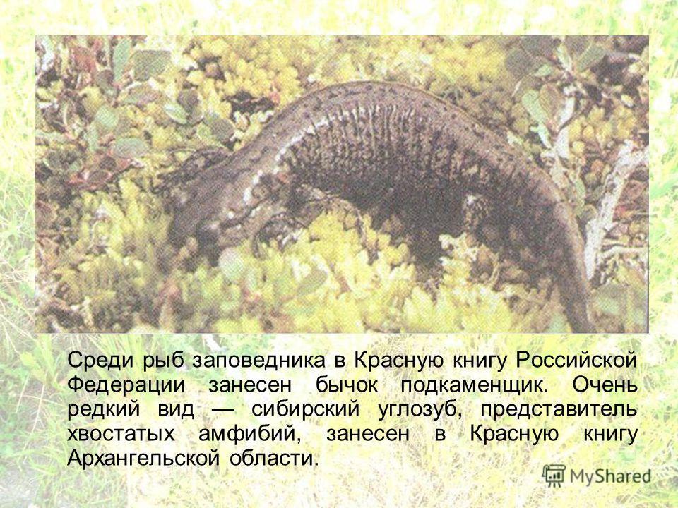 Среди рыб заповедника в Красную книгу Российской Федерации занесен бычок подкаменщик. Очень редкий вид сибирский углозуб, представитель хвостатых амфибий, занесен в Красную книгу Архангельской области.