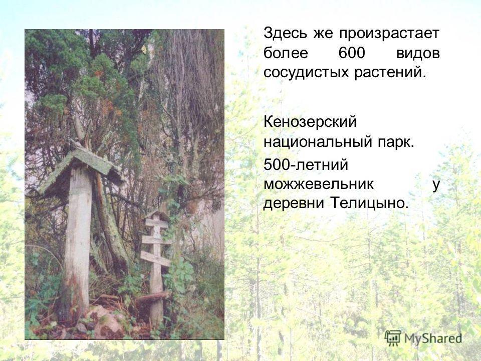 Здесь же произрастает более 600 видов сосудистых растений. Кенозерский национальный парк. 500-летний можжевельник у деревни Телицыно.