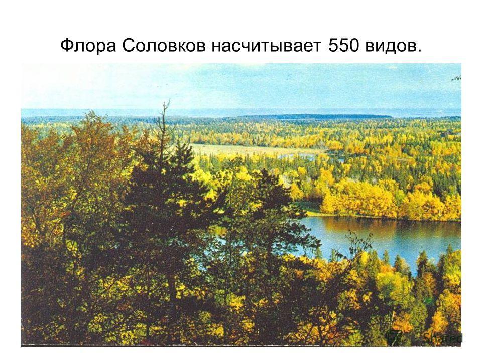 Флора Соловков насчитывает 550 видов.