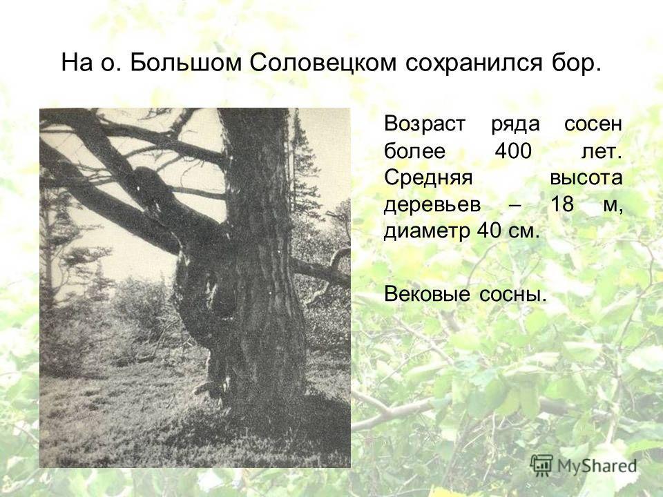 На о. Большом Соловецком сохранился бор. Возраст ряда сосен более 400 лет. Средняя высота деревьев – 18 м, диаметр 40 см. Вековые сосны.