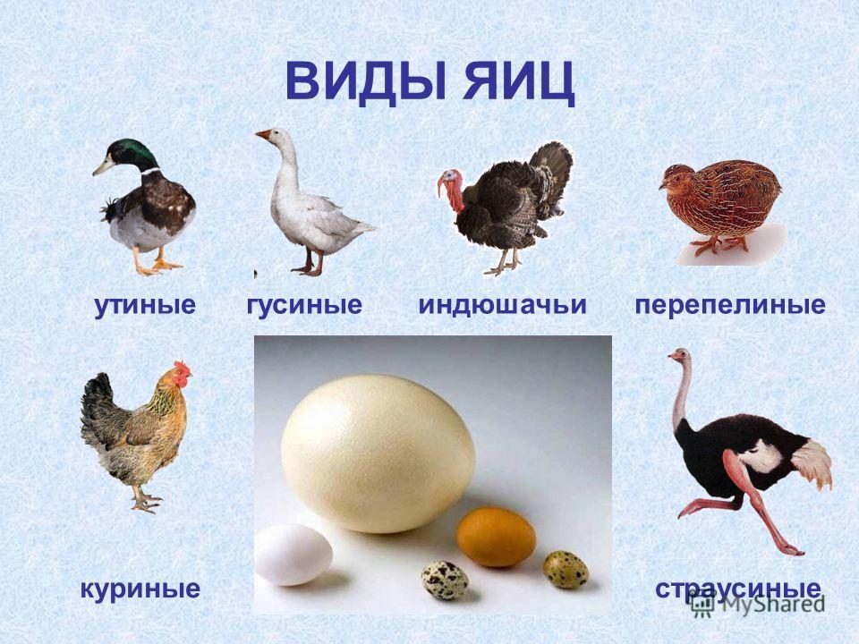 ВИДЫ ЯИЦ гусиныеутиныеиндюшачьиперепелиные куриныестраусиные