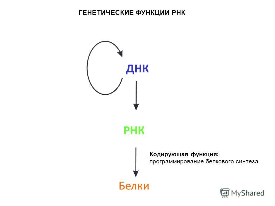 ДНК РНК Белки ГЕНЕТИЧЕСКИЕ ФУНКЦИИ РНК Кодирующая функция: программирование белкового синтеза