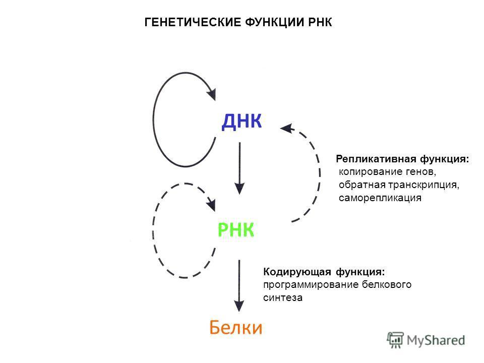 ДНК РНК Белки ГЕНЕТИЧЕСКИЕ ФУНКЦИИ РНК Кодирующая функция: программирование белкового синтеза Репликативная функция: копирование генов, обратная транскрипция, саморепликация