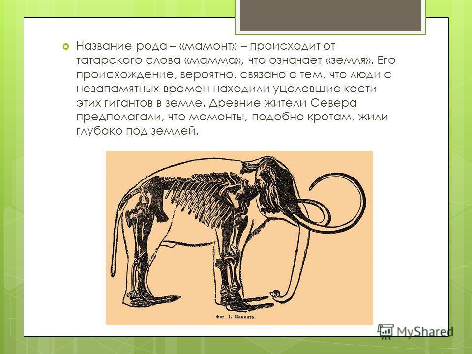 Название рода – «мамонт» – происходит от татарского слова «мамма», что означает «земля». Его происхождение, вероятно, связано с тем, что люди с незапамятных времен находили уцелевшие кости этих гигантов в земле. Древние жители Севера предполагали, чт