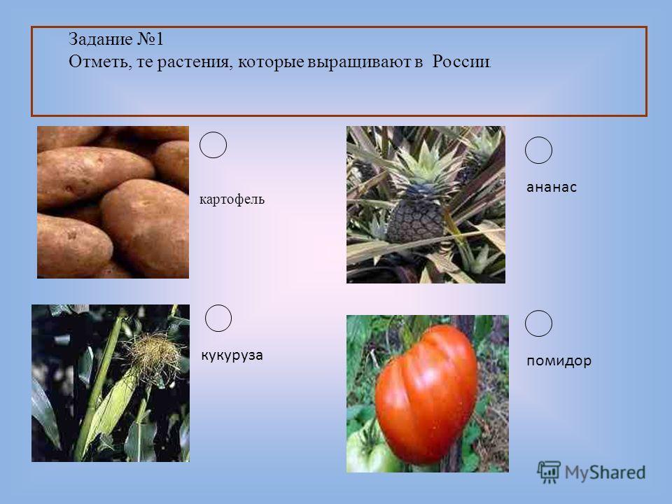 Задание 1 Отметь, те растения, которые выращивают в России. картофель кукуруза ананас помидор