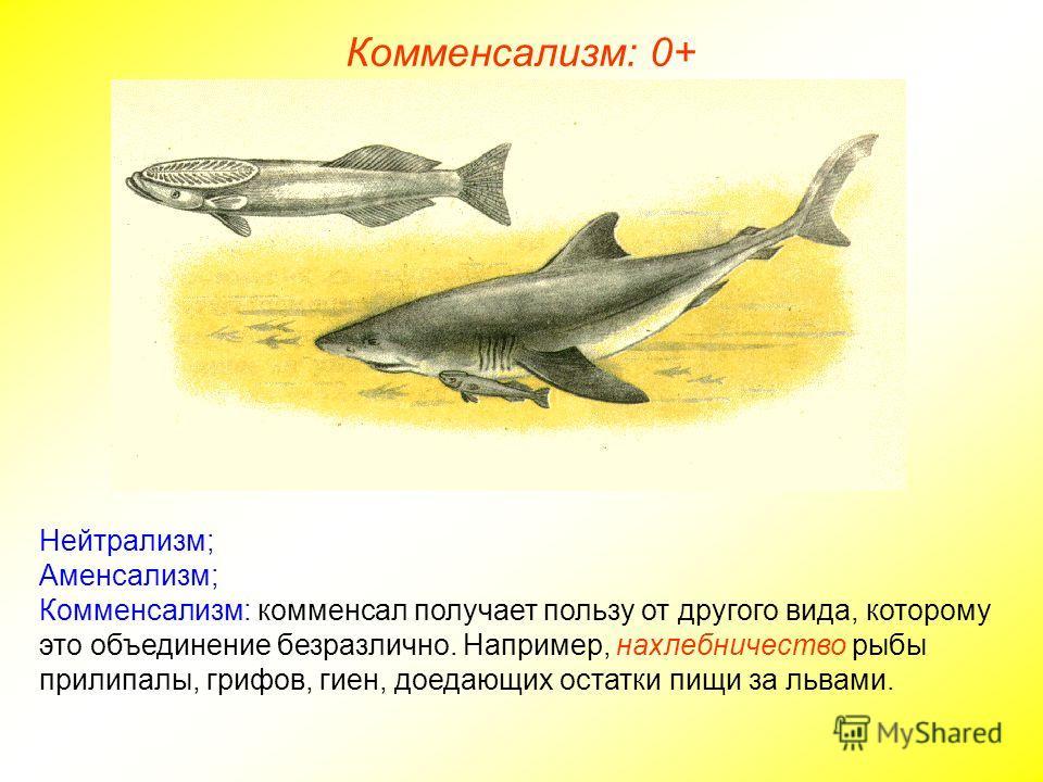 Нейтрализм; Аменсализм; Комменсализм: комменсал получает пользу от другого вида, которому это объединение безразлично. Например, нахлебничество рыбы прилипалы, грифов, гиен, доедающих остатки пищи за львами. Комменсализм: 0+