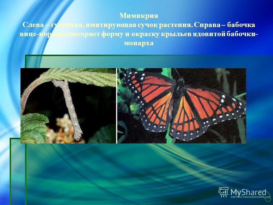 Мимикрия Слева – гусеница, имитирующая сучок растения. Справа – бабочка вице-король повторяет форму и окраску крыльев ядовитой бабочки- монарха