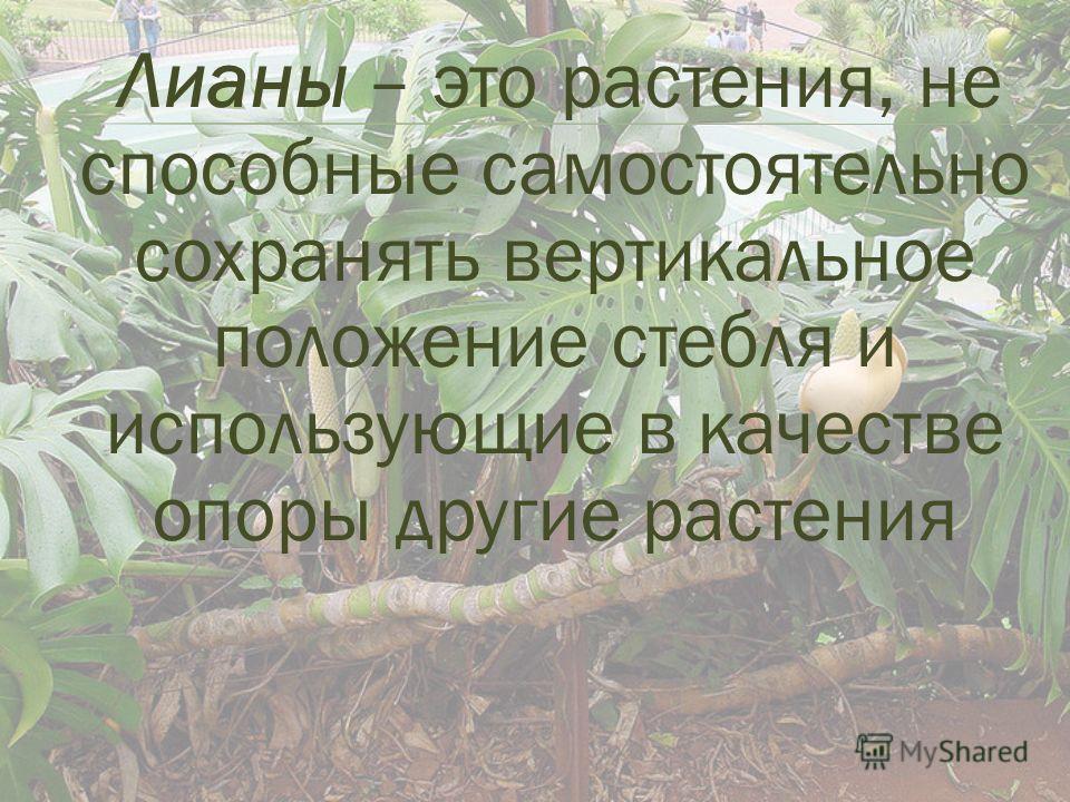 Лианы – это растения, не способные самостоятельно сохранять вертикальное положение стебля и использующие в качестве опоры другие растения