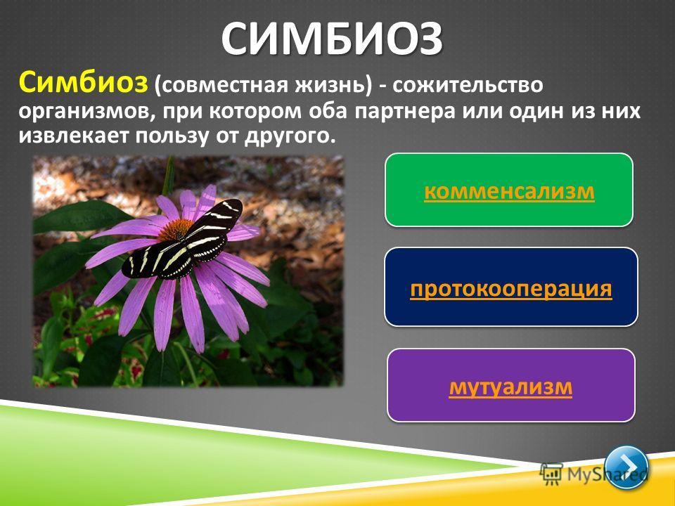 СИМБИОЗ Симбиоз ( совместная жизнь ) - сожительство организмов, при котором оба партнера или один из них извлекает пользу от другого. комменсализм протокооперация мутуализм